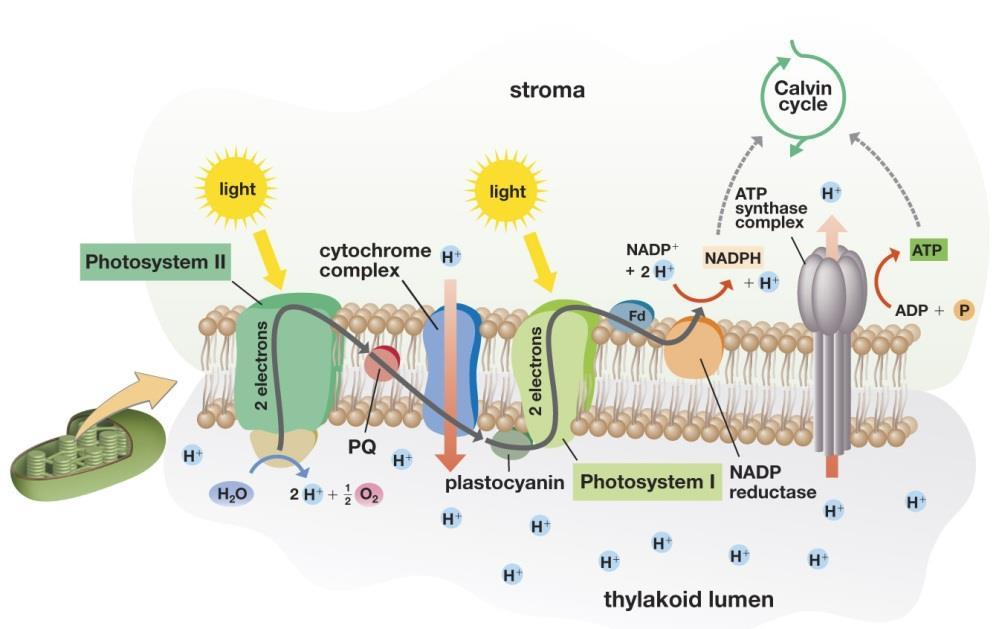 Study outline for Chapter 5-Photosynthesis Chemiosmosis and Photophosphorylation How did we make ATP? This ATP synthesis is called. Non Cyclic Electron Flow- Follow Figure 5.13.