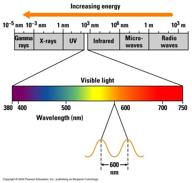 The Nature of Sunlight Absorption of light by chloroplast pigments Light is a form of electromagnetic energy, also called electromagnetic