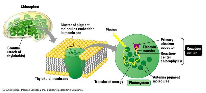 Thylakoid membrane Chloroplasts: Sites of Photosynthesis How Photosystems