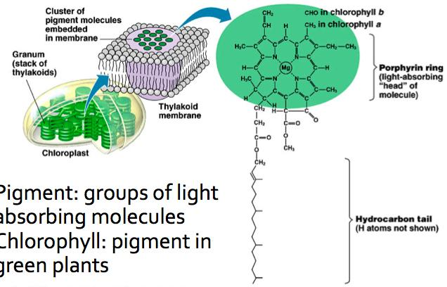 Light Absorbing Pigments Pigment: groups of light absorbing