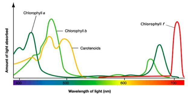 Absorption Spectrum Carotenoids are pigments that absorb mainly blue and green reflecting back orange and red In the