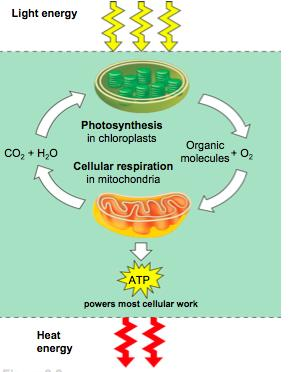 Comparing Metabolic Processes Photosynthesis and cellular respiration are complementary processes They are not opposite