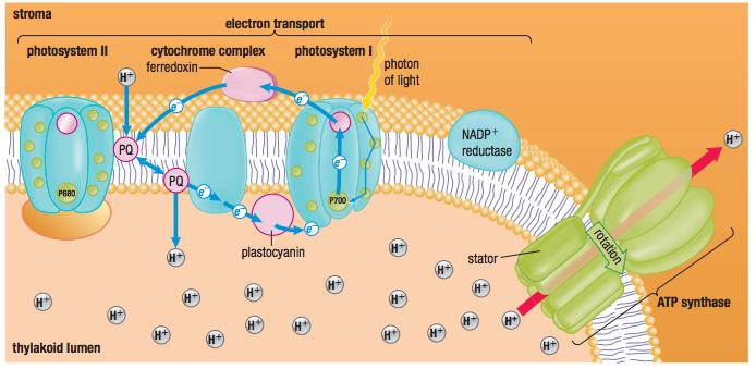 Purpose of Cyclic Electron Flow Non cyclic electron flow produces roughly equal quantities of ATP and NADPH However,