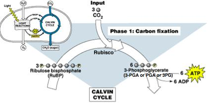Phase 1: Carbon Fixation CO 2 (1c) + 1,5- RuBP (5c) = short lived 6C intermediate 6C molecule