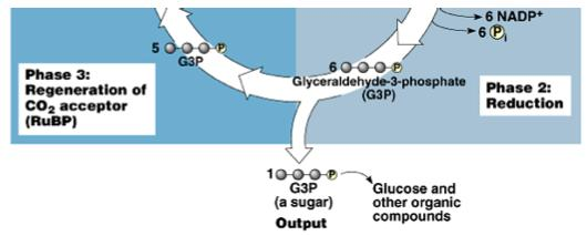 Phase 3: Regeneration Of the 6 G3P produced 1 of them exits the cycle to eventually become glucose and