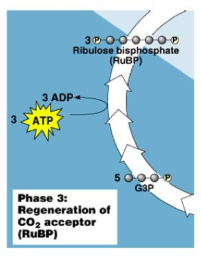 Phase 3: Regeneration G3P resynthesized to 1,5- RuBP 5 x 3C
