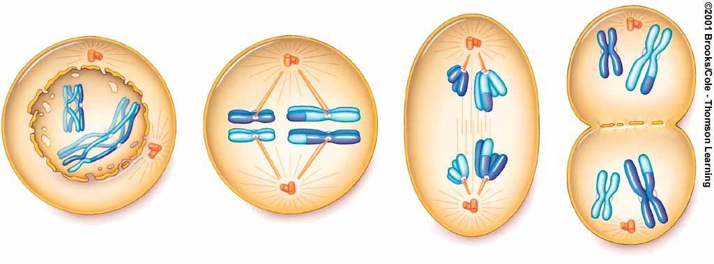 Meiosis I - Stages Prophase I