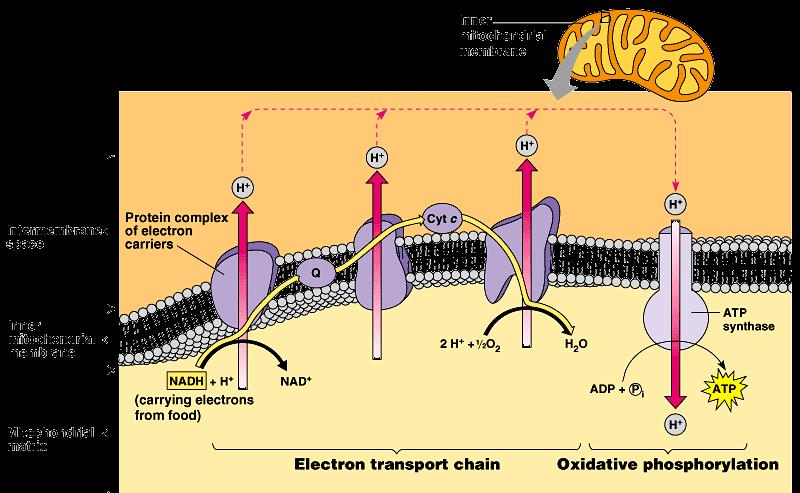 ETC of Respiration Mitochondria