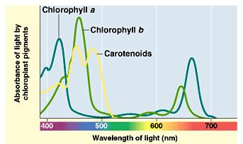 Light: absorption spectra Photosynthesis gets energy by absorbing