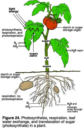 Plant structure Obtaining raw materials sunlight leaves = solar collectors CO 2