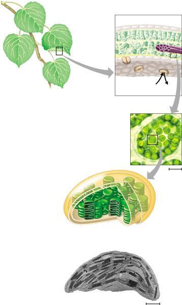 leaves Chloroplasts cross