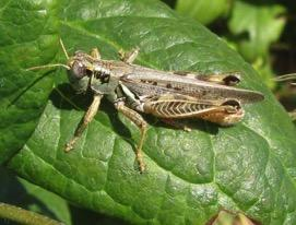 Orthoptera Grasshoppers &
