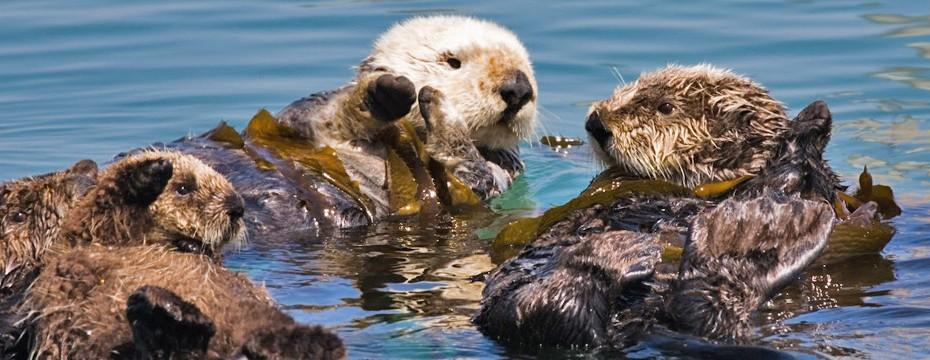 Keystone Species A keystone species is a single species that is vital to ecosystem stability. In the kelp forests on the Pacific Coast, sea otters prey on sea urchins. Urchins eat the kelp.