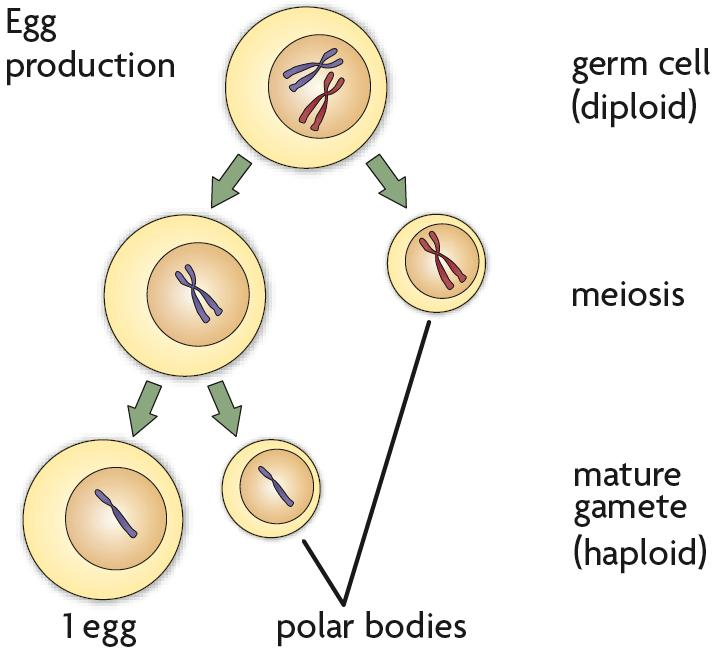 Sperm primarily contribute DNA to an embryo.