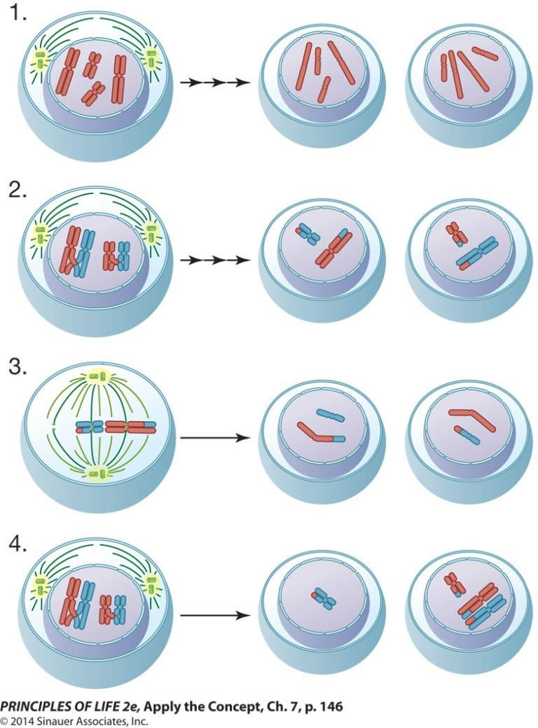 A translocation that occurs in humans between