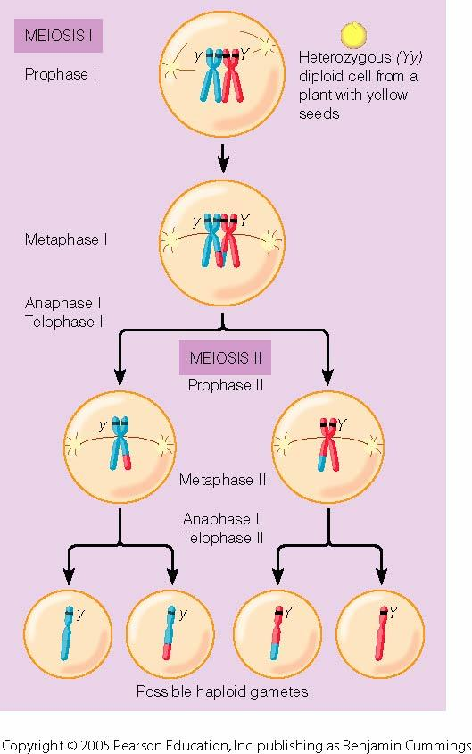 Review of Meiosis Makes haploid cells