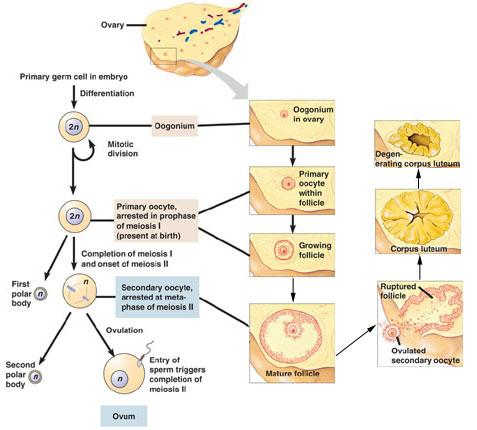 Human Reproduction Meiosis allows to pass on of