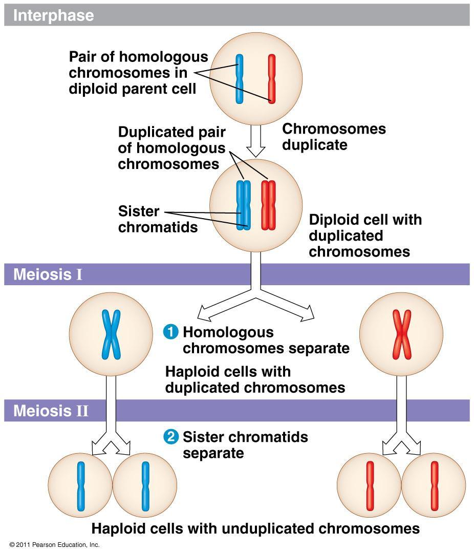 Meiosis = reduction division Cells divide twice Result: 4