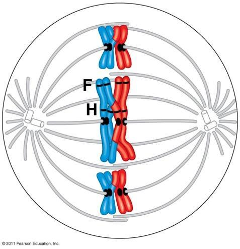Meiosis I (1 st division) Interphase: (same as mitosis) Prophase I: Synapsis: homologous chromosomes (Sisters)