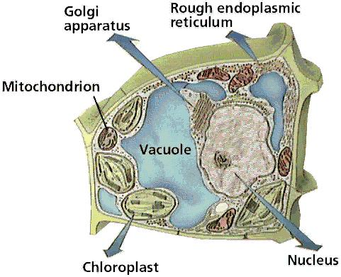 Name the two organelles shown in the image. A. Smooth ER B B. Rough ER Energy 5.