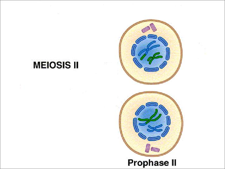 Stages of Meiosis Meiosis II Prophase II spindle fibers reform