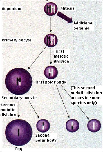 The primary oocyte and polar body undergo meiosis II to form one secondary oocyte and three polar bodies.