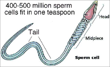 Sperm Small numerous motile cap called an