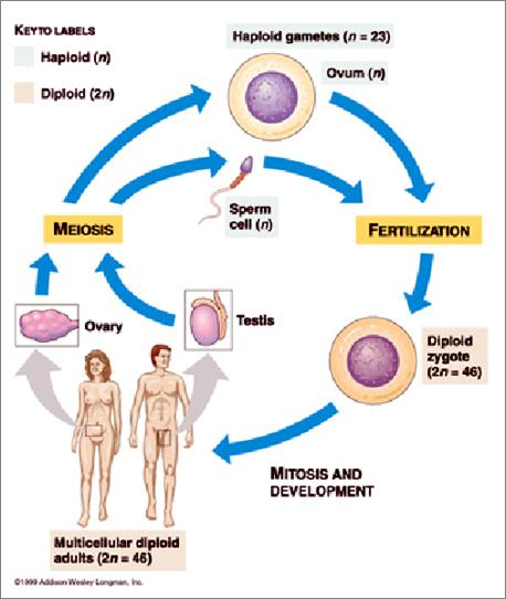 Basic terms necessary for an understanding of meiosis: germ cell: a sex cell that produces sperm or egg