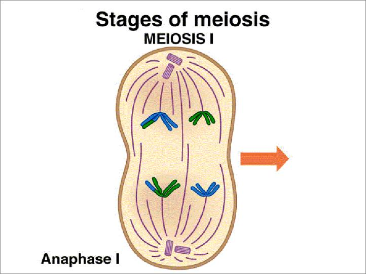 Stages of Meiosis - Anaphase I homologous chromosomes separate and are