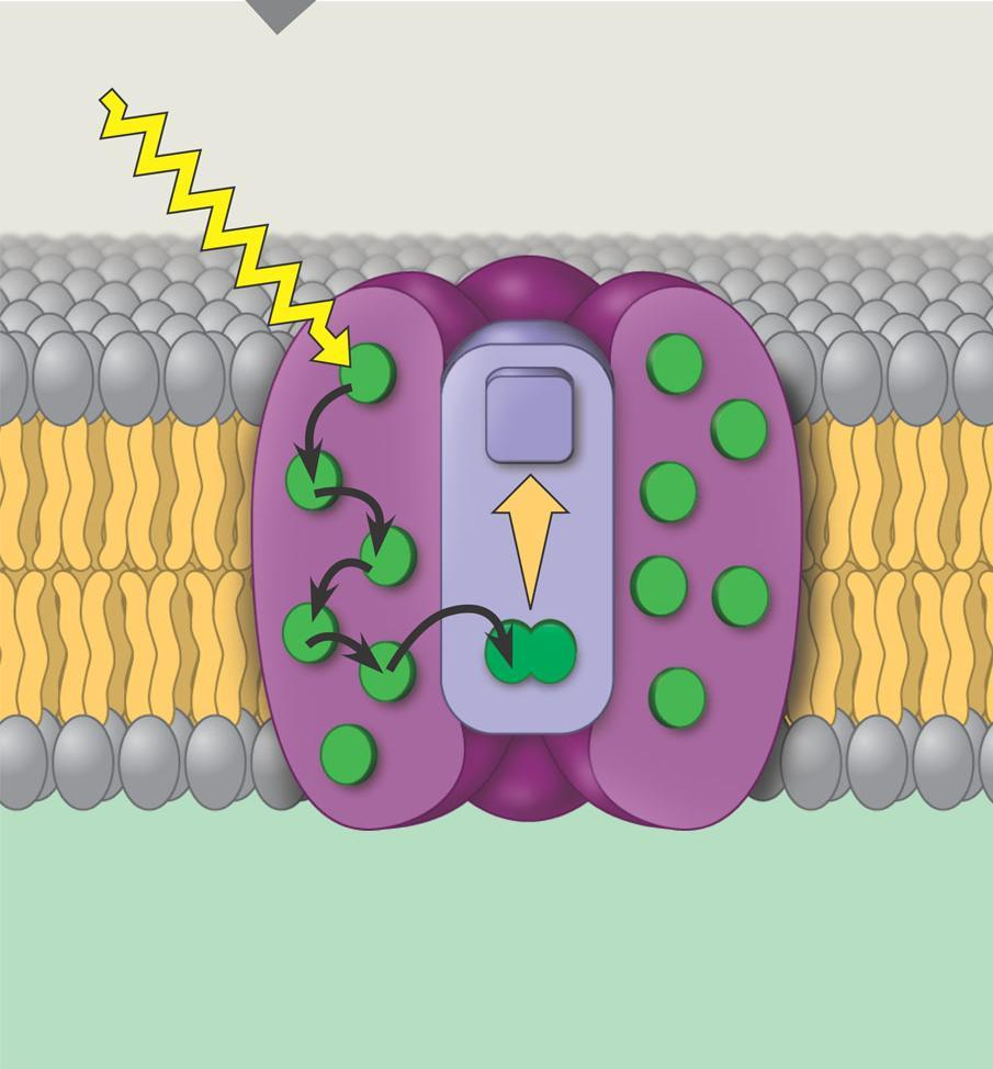Thylakoid membrane A photosystem Photon Photosystem STROMA Is composed of a reaction center surrounded by a number of lightharvesting complexes Light-harvesting