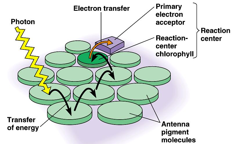 The pigment molecules (antenna pigment molecules) absorb and relay light energy to the reaction center.