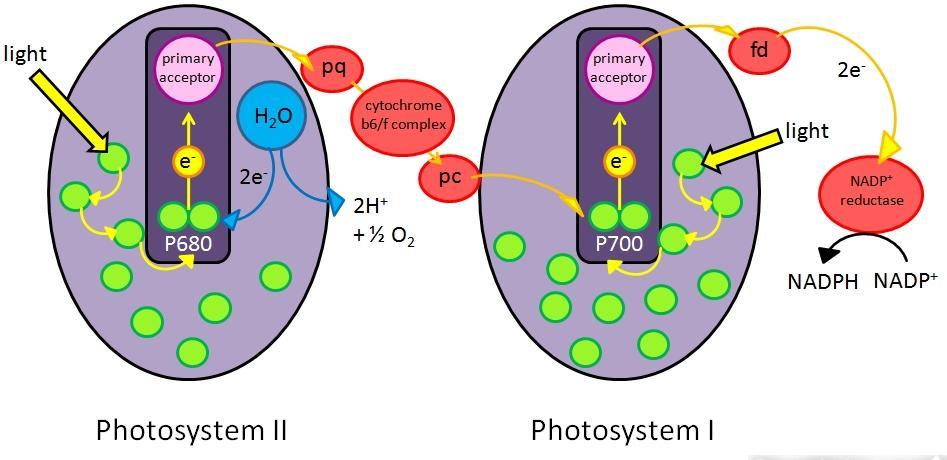 2 photosystems in thylakoid membrane Photosystem II Photosystem I chlorophyll a