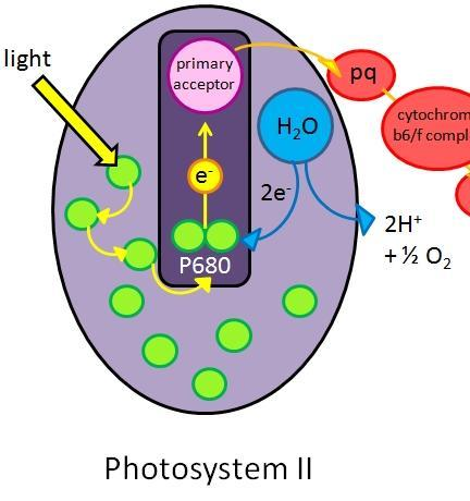 the flow of electrons in photosystem II draws an electron from a water molecule.