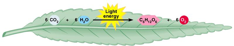 Photosynthesis is the process by which autotrophic organisms use light energy to make sugar and