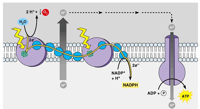 The production of ATP by chemiosmosis in photosynthesis Thylakoid compartment (high H + ) Light Thylakoid