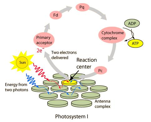 Cyclic photophosphorylation AN EXCEPTION ---