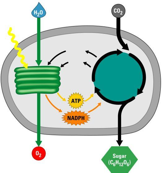 Light reactions Produce ATP Produce NADPH consume H 2 O produced O 2 as byproduct Calvin cycle Light reactions