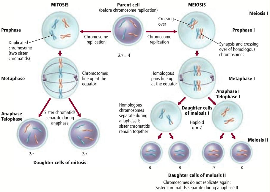 Mitosis Meiosis One division occurs during mitosis. Two sets of divisions occur during meiosis: meiosis I and meiosis II. DNA replication occurs during interphase.