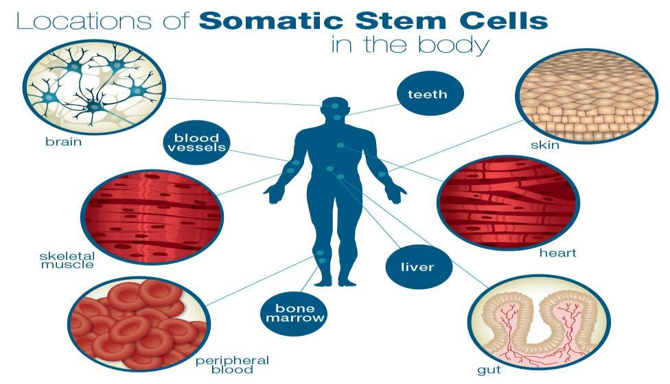 Somatic Cells Somatic Cells are all cells in our bodies except for our sexual cells Our somatic