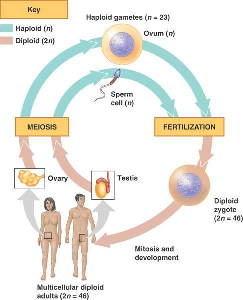 Remember Gametogenesis is defined as the formation of gametes Spermatogenesis (Males)
