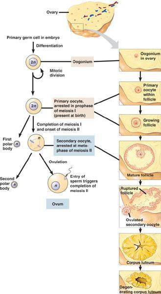 Oogenesis Formation of egg cells (ovum) Big difference when comparing