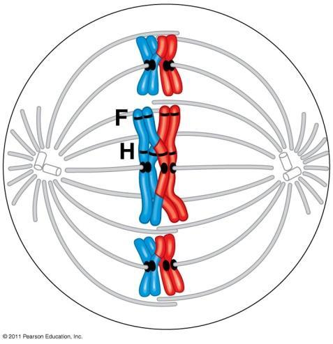 Meiosis I (1 st division) Interphase: chromosomes replicated Prophase I: Synapsis: homologous chromosomes pair
