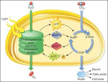 Calvin Cycle - Is a light independent reaction - Occurs in the stroma - Produces