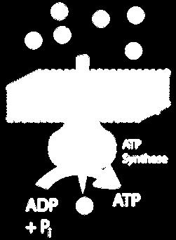 Through the ATP Synthase, the protons move down the concentration gradient, and their