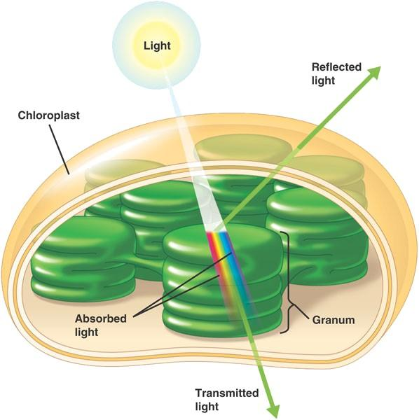chloroplast pigments abs
