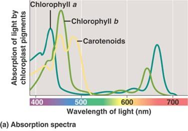 Photosynthesis light absorption chlorophyll a abs blue-violet, red 400-450, 650-700 nm chlorophyll b &
