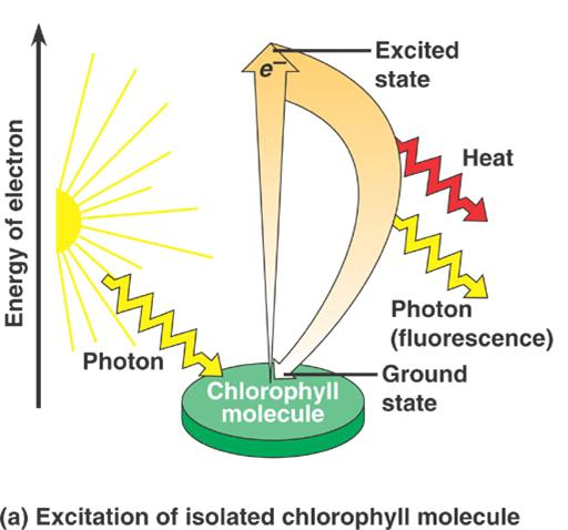 Photosynthesis light absorption Pigments have two states: ground &