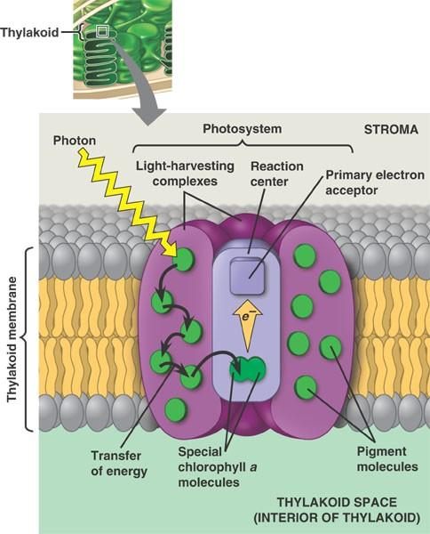 Photosynthesis light absorption Pigments are held by proteins in the thylakoid membranes light harvesting complex energy absorbed from light - to