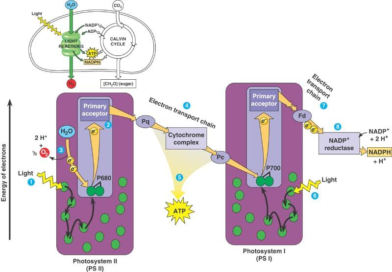 Photosynthesis energy transfer e- in PS II, from split H 2 0 e- from PS II