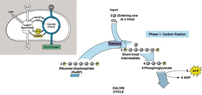 3 stages of Calvin-cycle: Carbon fixation #1 carbon fixation CO 2 link to 5-C